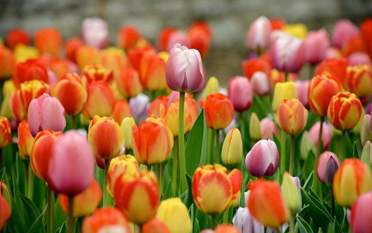 цветы, разноцветные, весна, тюльпаны, много, flowers, colorful, spring, tulips, a lot