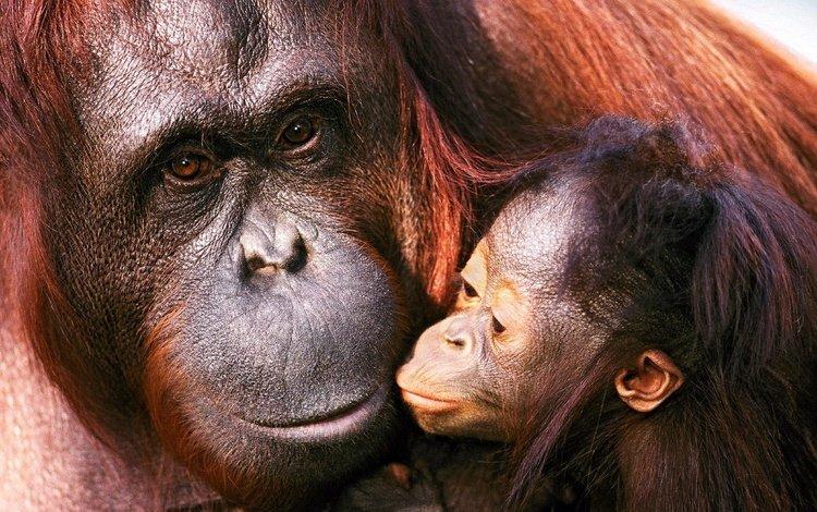 семья, детеныш, орангутанг, обезьяны, мать, family, cub, orangutan, monkey, mother