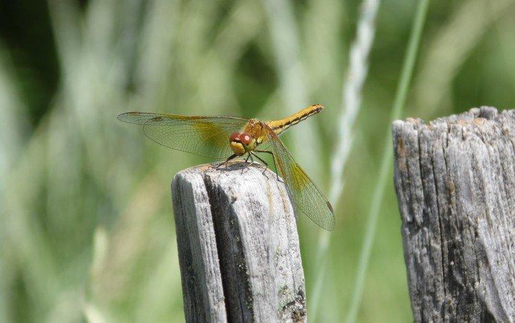 природа, макро, насекомое, стрекоза, крылышки, nature, macro, insect, dragonfly, wings