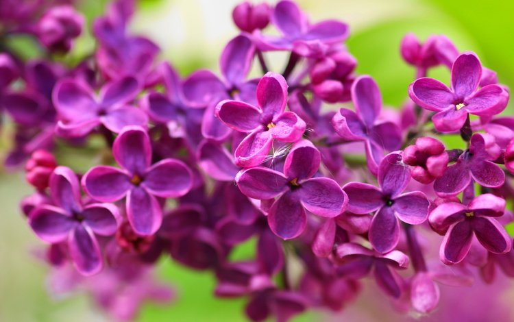 flowers, nature, macro, petals, spring, lilac