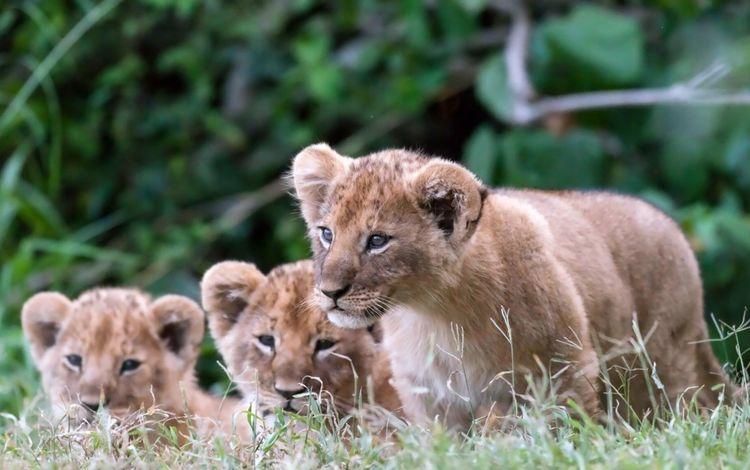 львята, the cubs