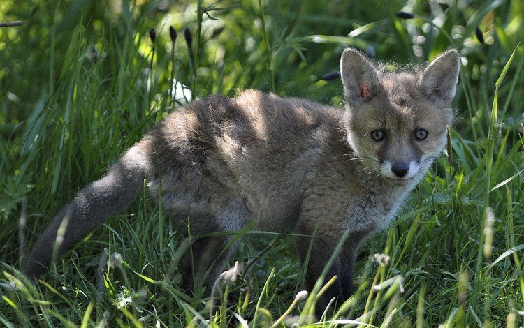 трава, лиса, детеныш, лисенок, grass, fox, cub