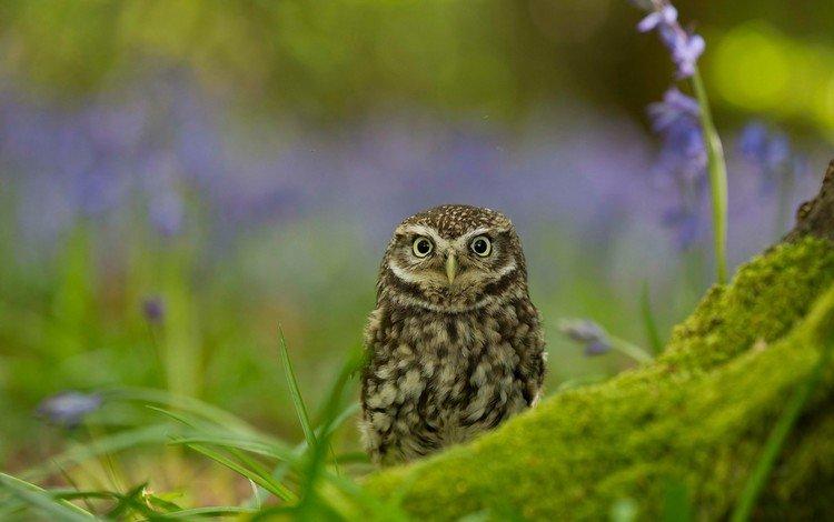 owl, nature, bird, little owl