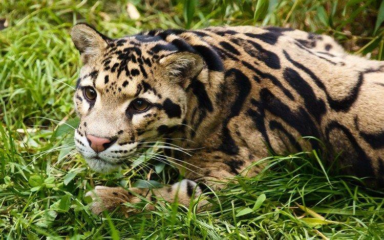 морда, трава, взгляд, хищник, отдых, оцелот, дымчатый леопард, трава взгляд, face, grass, look, predator, stay, ocelot, clouded leopard, grass look