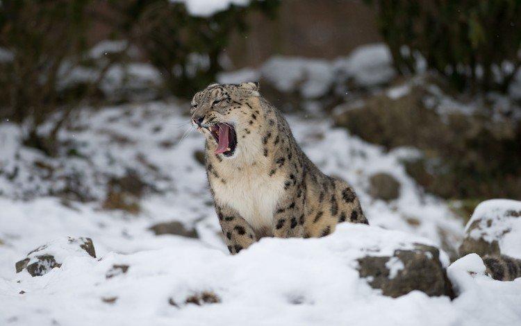 снег, снежный барс, зевает, ирбис, барс, дикая кошка, snow, snow leopard, yawns, irbis, bars, wild cat
