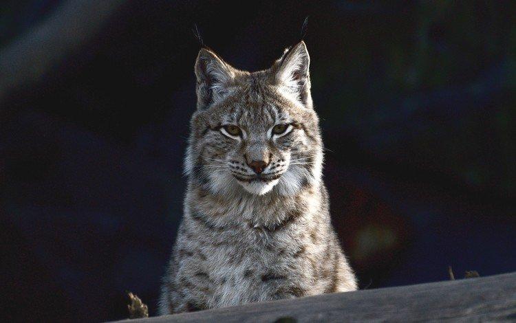 рысь, животные, кошка, хищник, черный фон, рыси, lynx, animals, cat, predator, black background