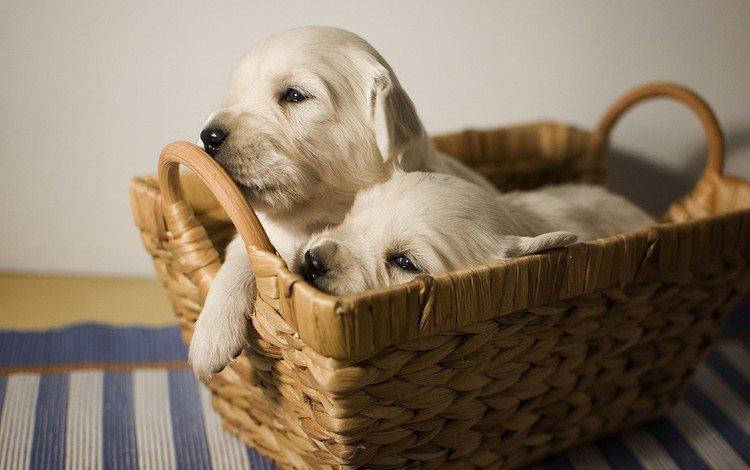 щенки, лабрадор, корзинка, собаки, puppies, labrador, basket, dogs