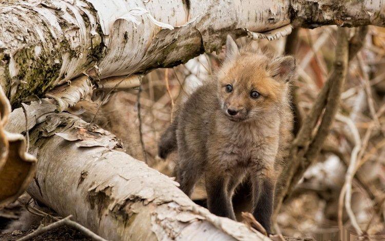 лес, животные, лиса, малыш, лисенок, forest, animals, fox, baby