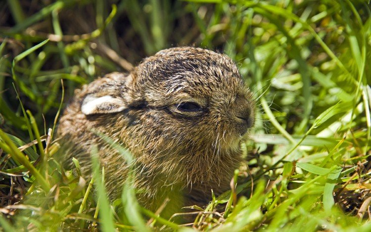 grass, nature, animals, baby, rabbits, hare