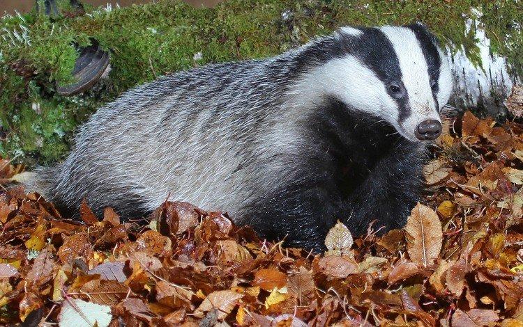 природа, листья, мох, млекопитающее, барсук, nature, leaves, moss, mammal, badger