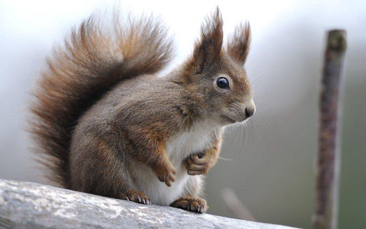 животные, белка, зверек, хвост, грызуны, animals, protein, animal, tail, rodents