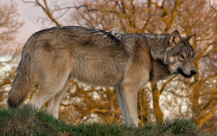 природа, лес, хищник, волк, nature, forest, predator, wolf