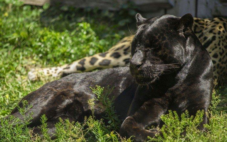 лежит, хищник, пантера, дикая кошка, черный ягуар, lies, predator, panther, wild cat, black jaguar