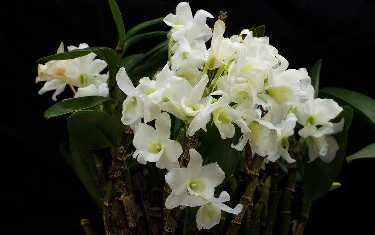 цветы, белые, орхидеи, flowers, white, orchids