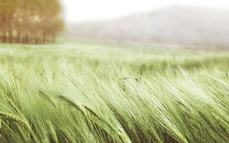 поле, лето, колосья, пшеница, колоски, ветер, field, summer, ears, wheat, spikelets, the wind