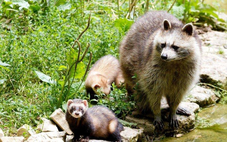 природа, животные, еноты, енот, nature, animals, raccoons, raccoon