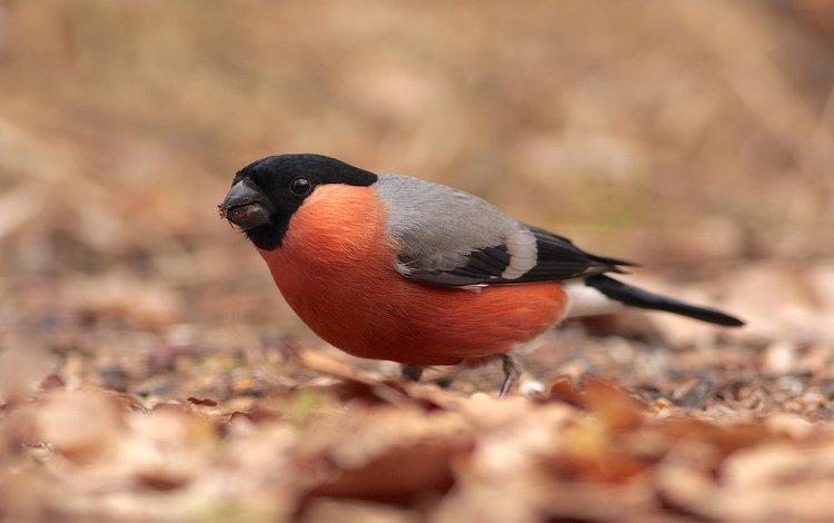 листья, птица, снегирь, сухие, клест, leaves, bird, bullfinch, dry, klest