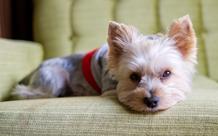 взгляд, собака, щенок, йорк, йоркширский терьер, look, dog, puppy, york, yorkshire terrier