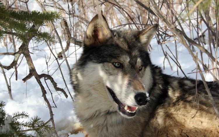 снег, лес, зима, хищник, волк, snow, forest, winter, predator, wolf