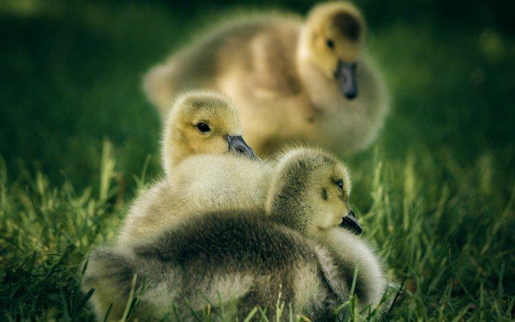 трава, птицы, утята, утки, птенцы, grass, birds, ducklings, duck, chicks