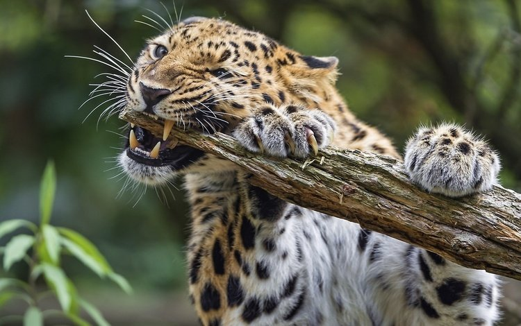 леопард, животное, леопард грызет палку, leopard, animal, leopard chewing on a stick
