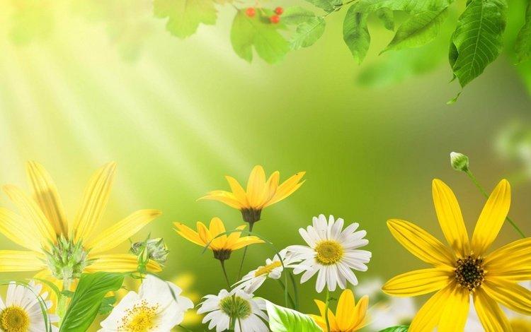 свет, цветы, ромашки, light, flowers, chamomile