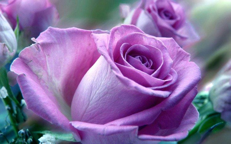 фиолетовая роза, purple rose
