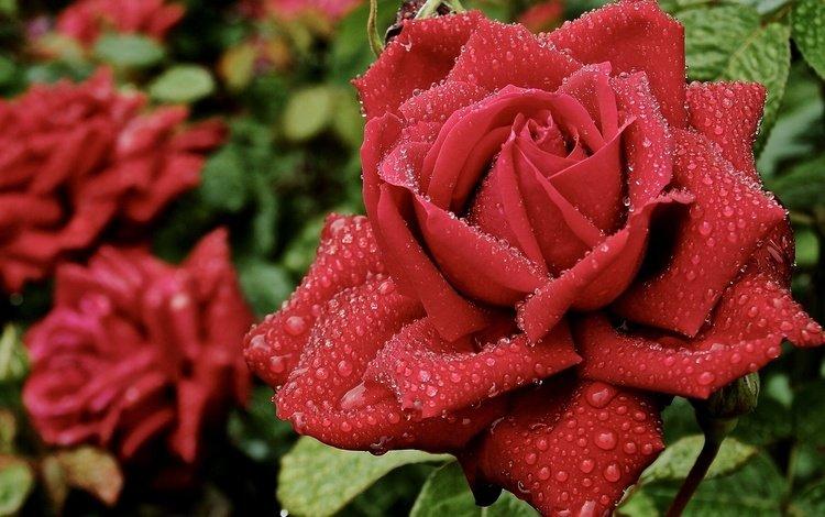 роса, капли, роза, лепестки, rosa, drops, rose, petals