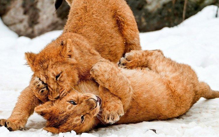 снег, львов, львята, игры, большие кошки, snow, lions, the cubs, game, big cats
