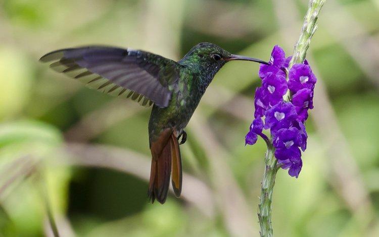 птица, колибри, колибри-манго, bird, hummingbird, hummingbird-mango