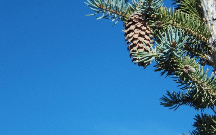 ветки, шишка, иголки, branches, bump, needles