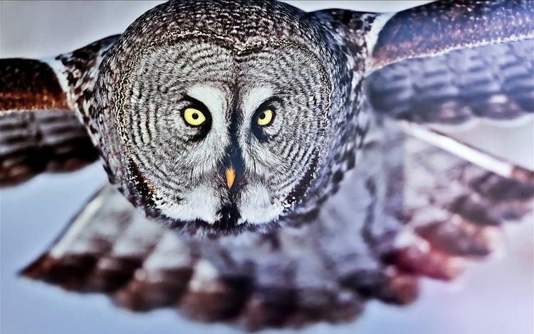 owl, flight, look, bird, great grey owl