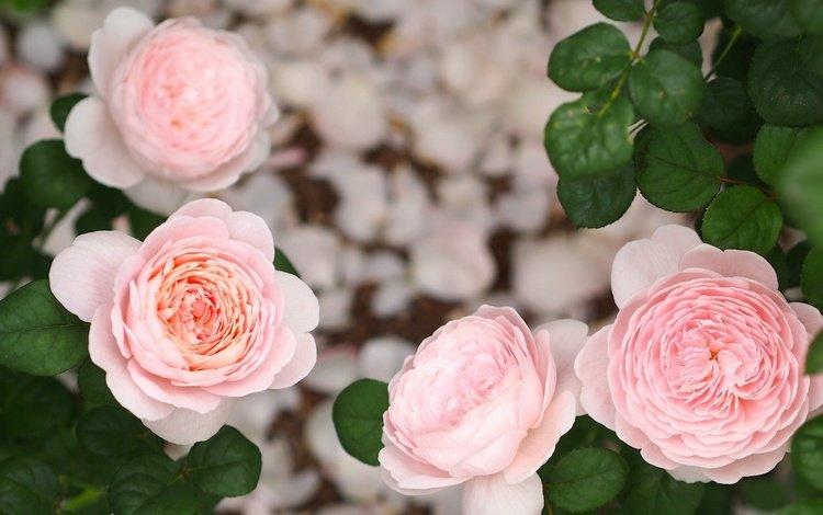 бутоны, листья, розы, buds, leaves, roses