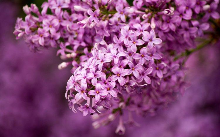 macro, lilac, bunch