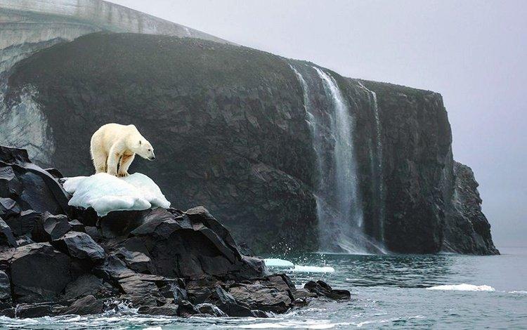 океан, белый медведь, скалы. снег, the ocean, polar bear, rock. snow