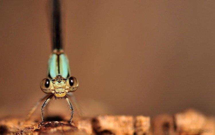 макро изображение стрекозы, macro image of a dragonfly