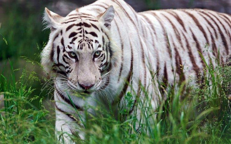трава, хищник, белый тигр, grass, predator, white tiger