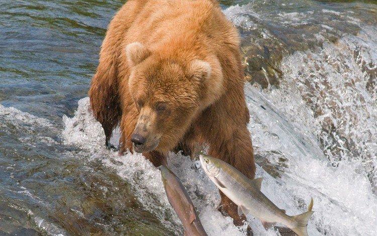 river, bear, predator
