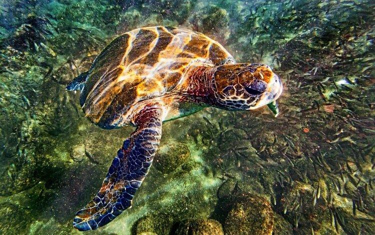вода, камни, море, черепаха, дно, подводный мир, water, stones, sea, turtle, the bottom, underwater world