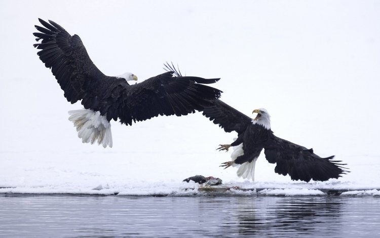 eagle, birds, orlan, bald eagles