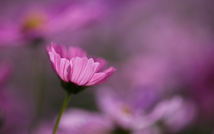 цветы, макро, розовые, космея, flowers, macro, pink, kosmeya