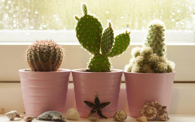 цветы, горшки, ракушки, окно, кактусы, flowers, pots, shell, window, cacti