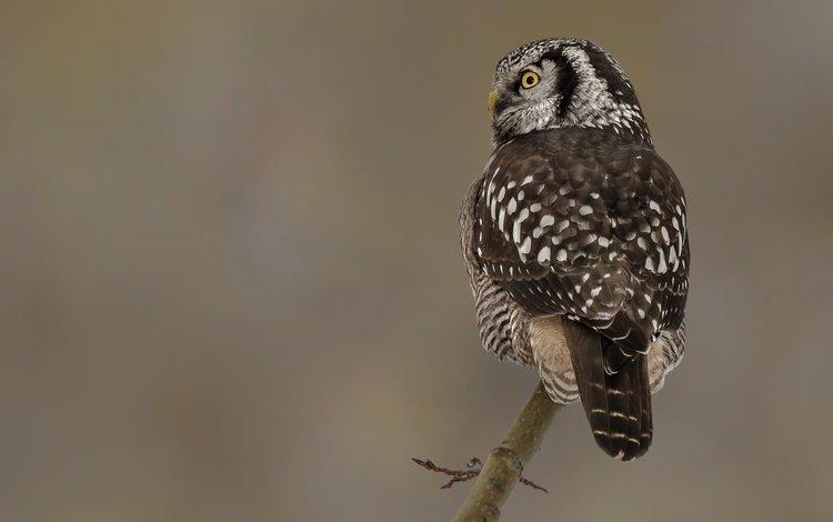 глаза, сова, ветка, природа, птицы, eyes, owl, branch, nature, birds