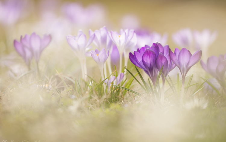 flowers, grass, macro, spring, crocuses, bokeh