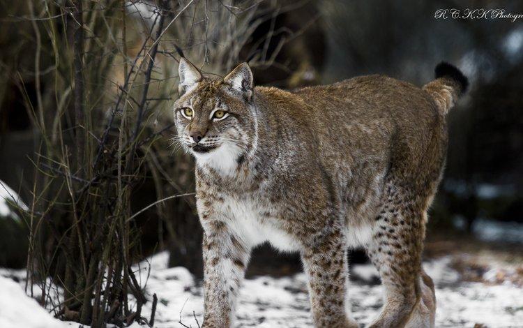 снег, природа, зима, рысь, взгляд, хищник, snow, nature, winter, lynx, look, predator