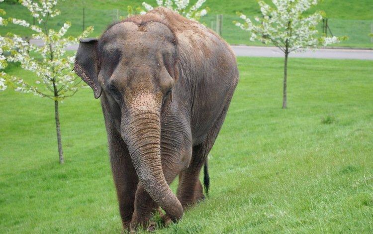 трава, деревья, слон, млекопитающее, grass, trees, elephant, mammal