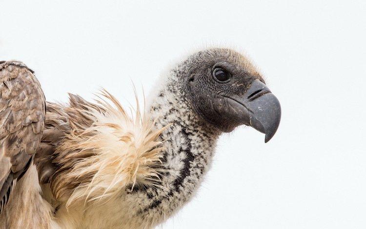природа, гриф, птица, хищная, падальщик, nature, grif, bird, predatory, scavenger
