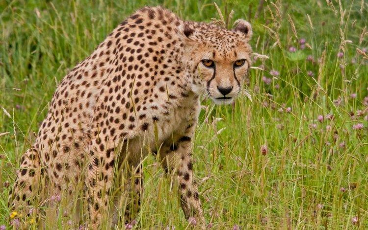 трава, хищник, гепард, дикая кошка, grass, predator, cheetah, wild cat