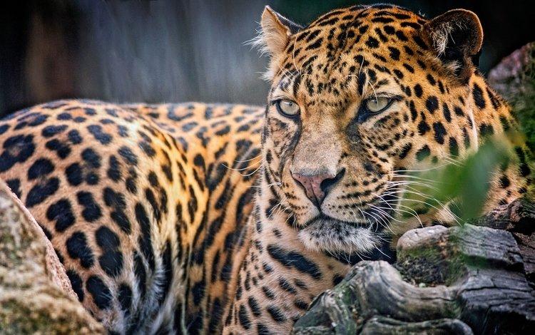взгляд, леопард, хищник, look, leopard, predator