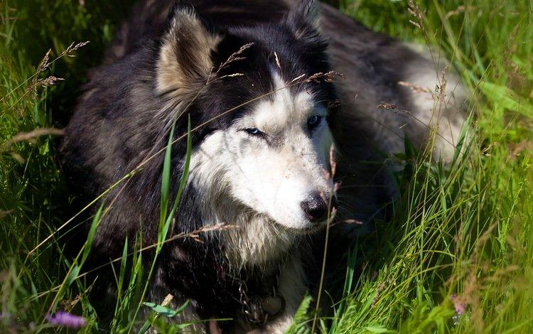 трава, природа, собака, хаски, grass, nature, dog, husky
